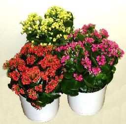 Kalanchoe as HK Flower Show Icon